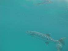 Barracuda. It was HUGE.